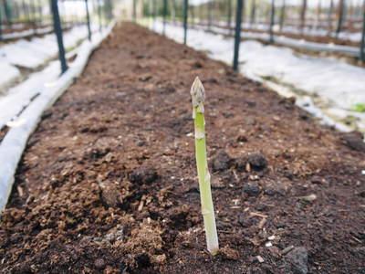 アスパラ 「なごみの里の朝採り『グリーンアスパラ』」 来年の収穫へ向け、秋の様子を現地取材_a0254656_1951070.jpg