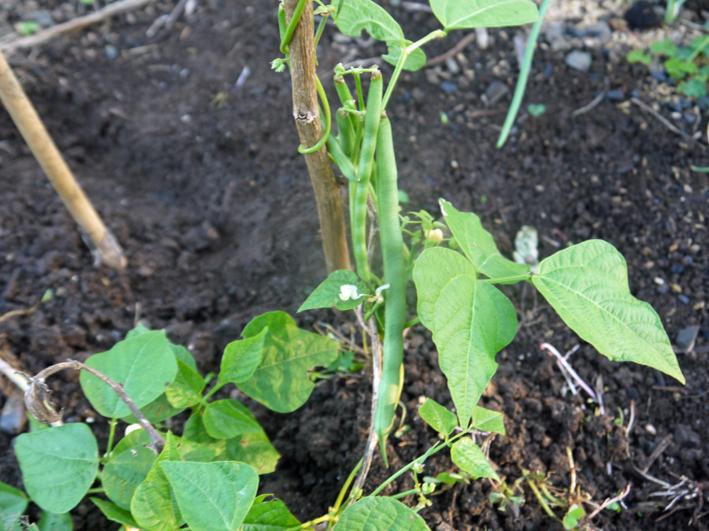 今秋、ニンジン初収穫、早生タマネギなどの苗を移植:11・3_c0014967_1011248.jpg