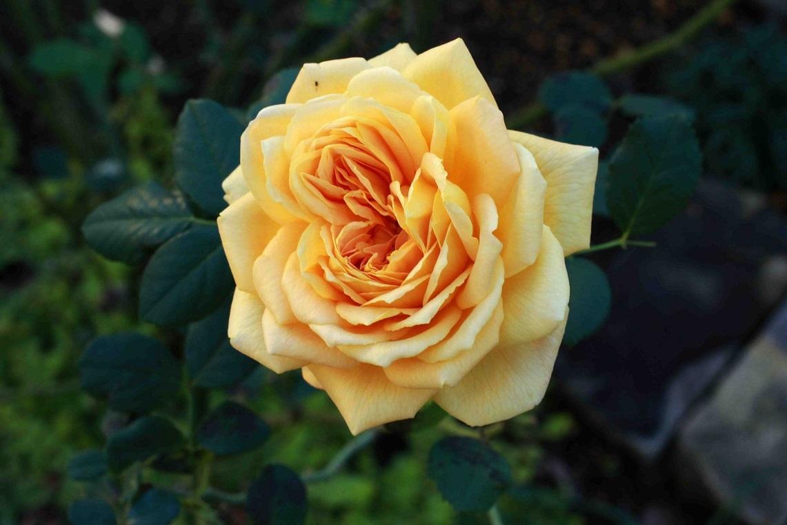 秋薔薇                                                              ~ゴールデンセレブレーション、ザ・ウエッジィウッド~_a0107574_17371694.jpg