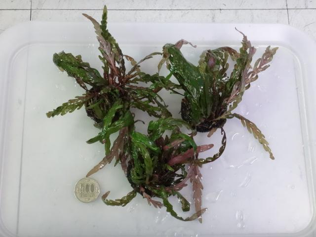 151105 熱帯魚・金魚・侘び草・水草・観葉植物_f0189122_1330449.jpg