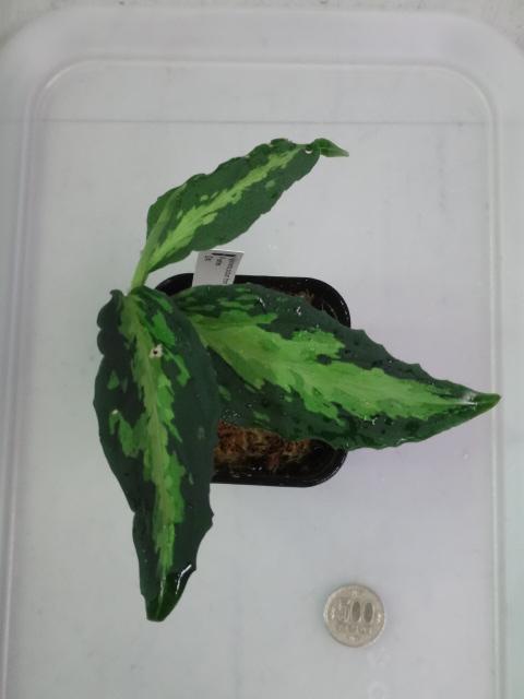 151105 熱帯魚・金魚・侘び草・水草・観葉植物_f0189122_13395623.jpg