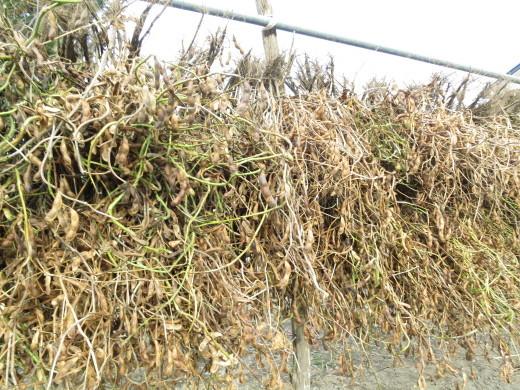 黒豆収穫のお手伝い_b0206037_07565329.jpg