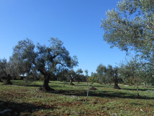 2015年のオリーブ収穫_b0305039_0161316.jpg