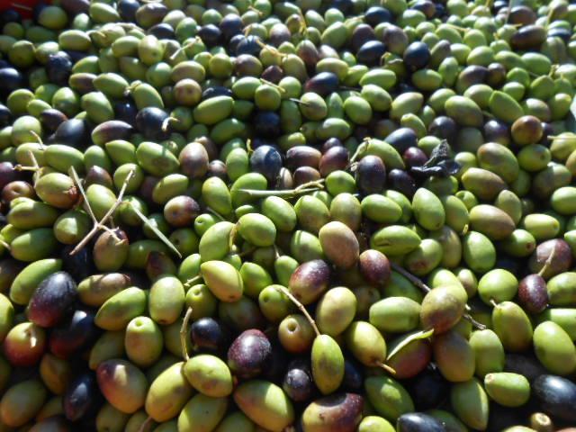 2015年のオリーブ収穫_b0305039_0163527.jpg