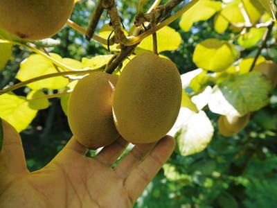 『水源キウイ』令和元年度も完売御礼!来年も無農薬、無化学肥料で大事に栽培していきます。キウイの落葉_a0254656_18504450.jpg