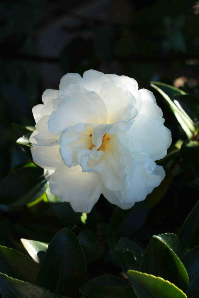 白衣の天使のよう  ~純白な八重の山茶花~_a0107574_18461037.jpg
