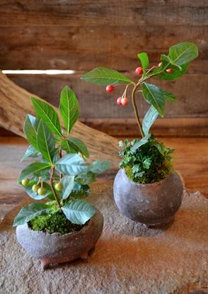 秋冬の盆栽が届きました_d0263815_16181134.jpg