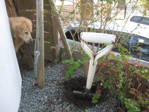 アベリア移植2本でお庭仕事終了です。_e0350927_18581018.jpg