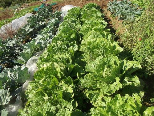 野菜の収穫...晴れて来たので_b0137932_18152347.jpg