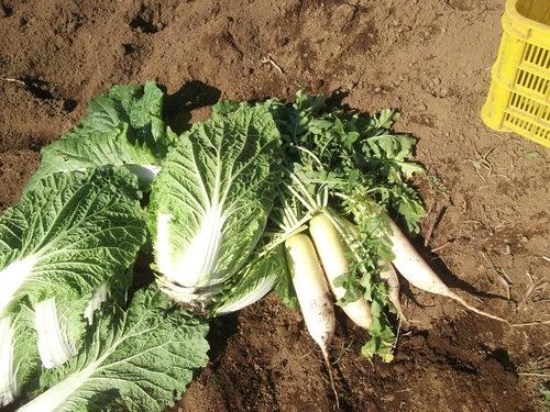 野菜の収穫...晴れて来たので_b0137932_18162938.jpg