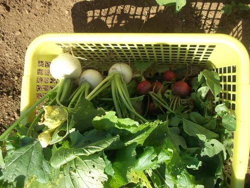 野菜の収穫...晴れて来たので_b0137932_18175138.jpg