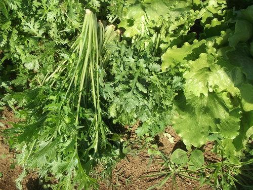 野菜の収穫...晴れて来たので_b0137932_18181344.jpg