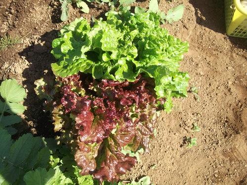 野菜の収穫...晴れて来たので_b0137932_18182947.jpg