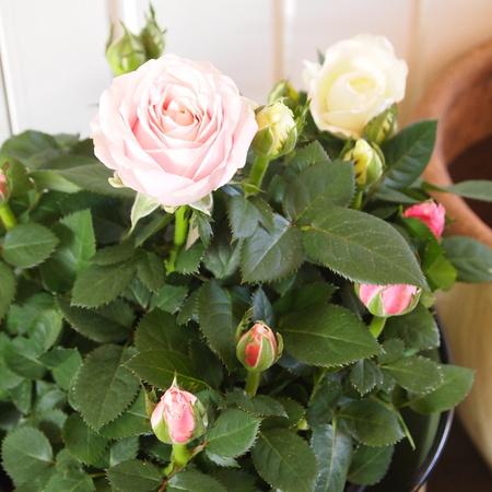 冬は室内の鉢植えで_a0292194_16112119.jpg