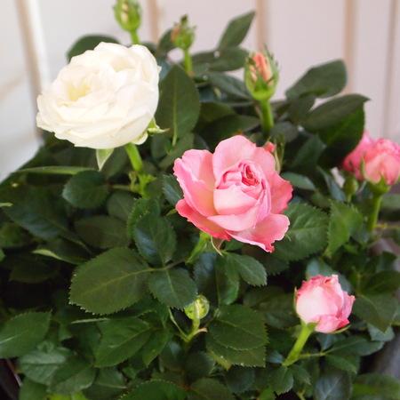冬は室内の鉢植えで_a0292194_16114282.jpg