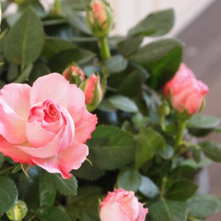 冬は室内の鉢植えで_a0292194_16151492.jpg