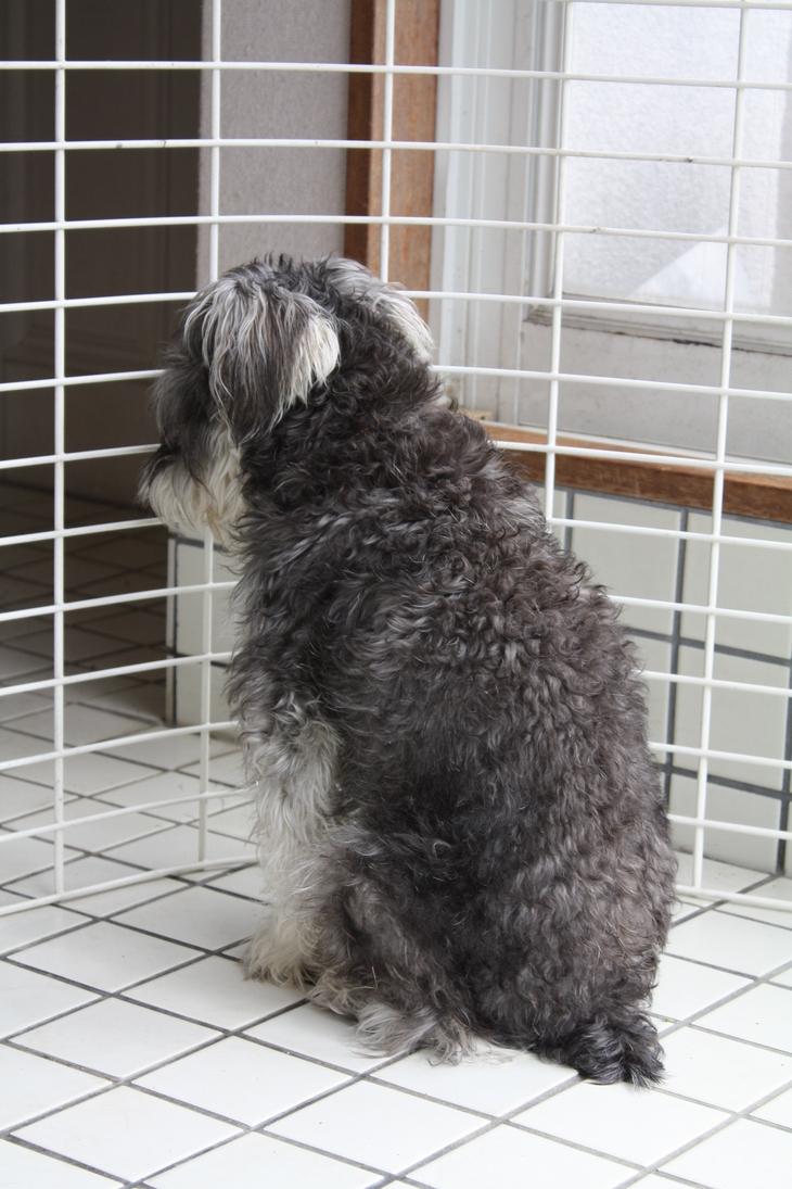シュナウザ―犬 ソルト君物語_a0155290_15344863.jpg