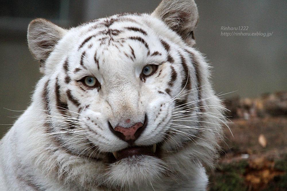2015.11.7 宇都宮動物園☆ホワイトタイガーのアース【White tiger】_f0250322_22453053.jpg
