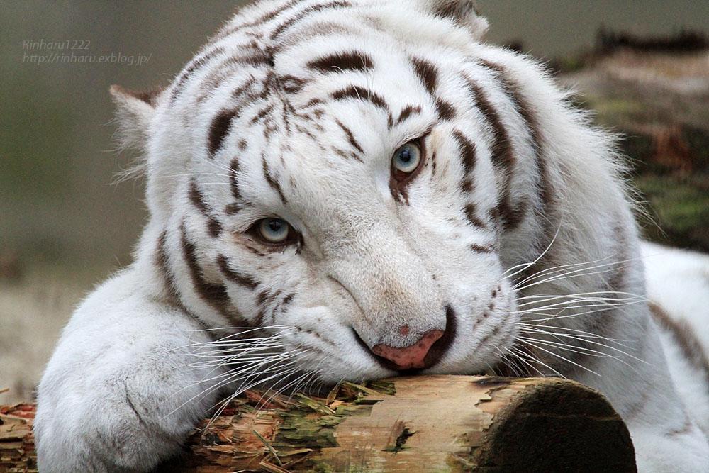 2015.11.7 宇都宮動物園☆ホワイトタイガーのアース【White tiger】_f0250322_22453462.jpg