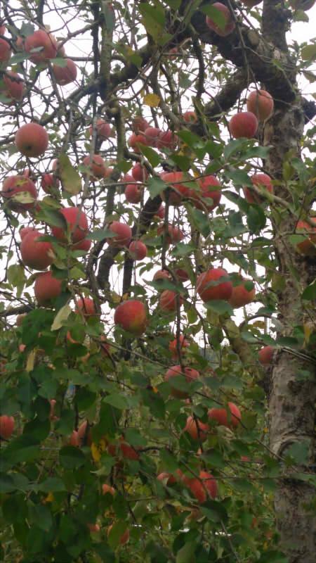 2015年度11月1日(日)第二回リンゴ狩り【ぐんま名月を求めて】_c0150273_1654913.jpg