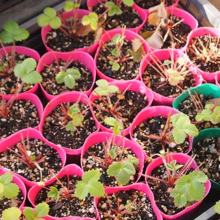 耐寒性のあるハーブの鉢植えでの冬越し②_a0292194_13375945.jpg