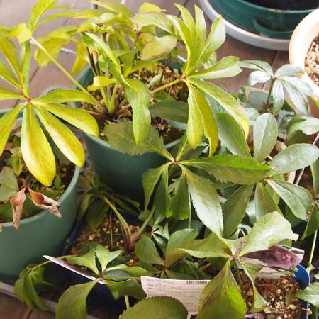 耐寒性のあるハーブの鉢植えでの冬越し①_a0292194_1421467.jpg