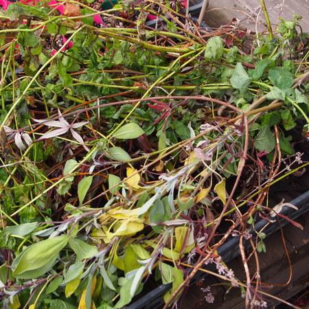 耐寒性のあるハーブの鉢植えでの冬越し②_a0292194_1471427.jpg