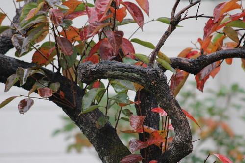 柿の葉_e0094102_11211749.jpg