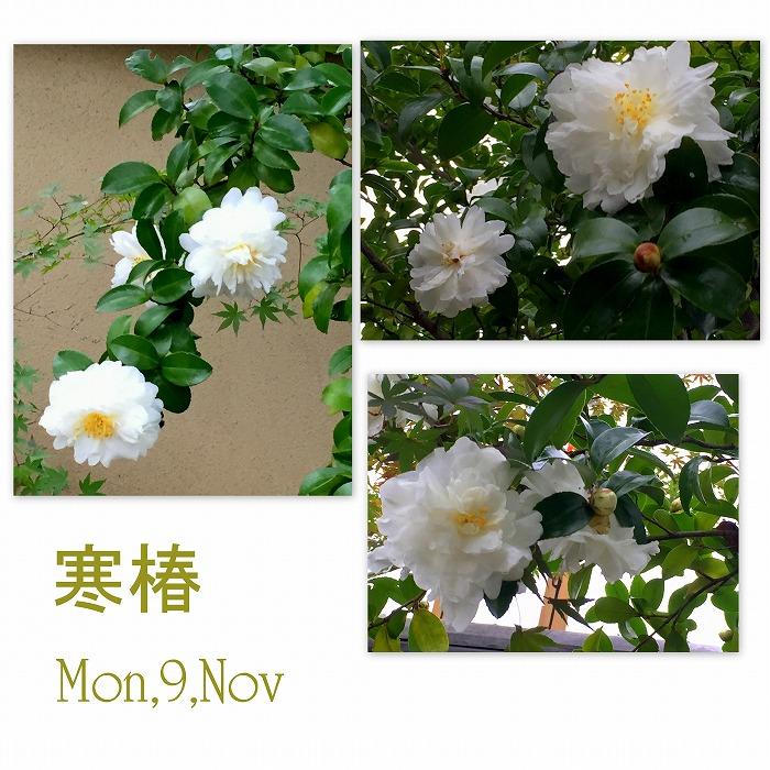 白い寒椿_d0147812_2233032.jpg
