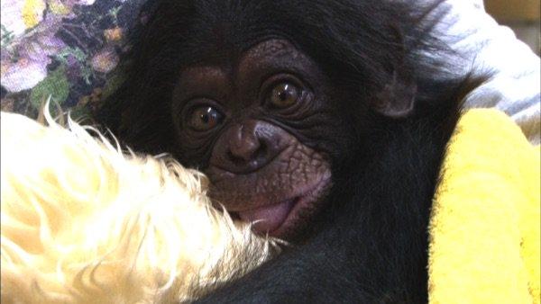 ちゃん チンパンジー プリン