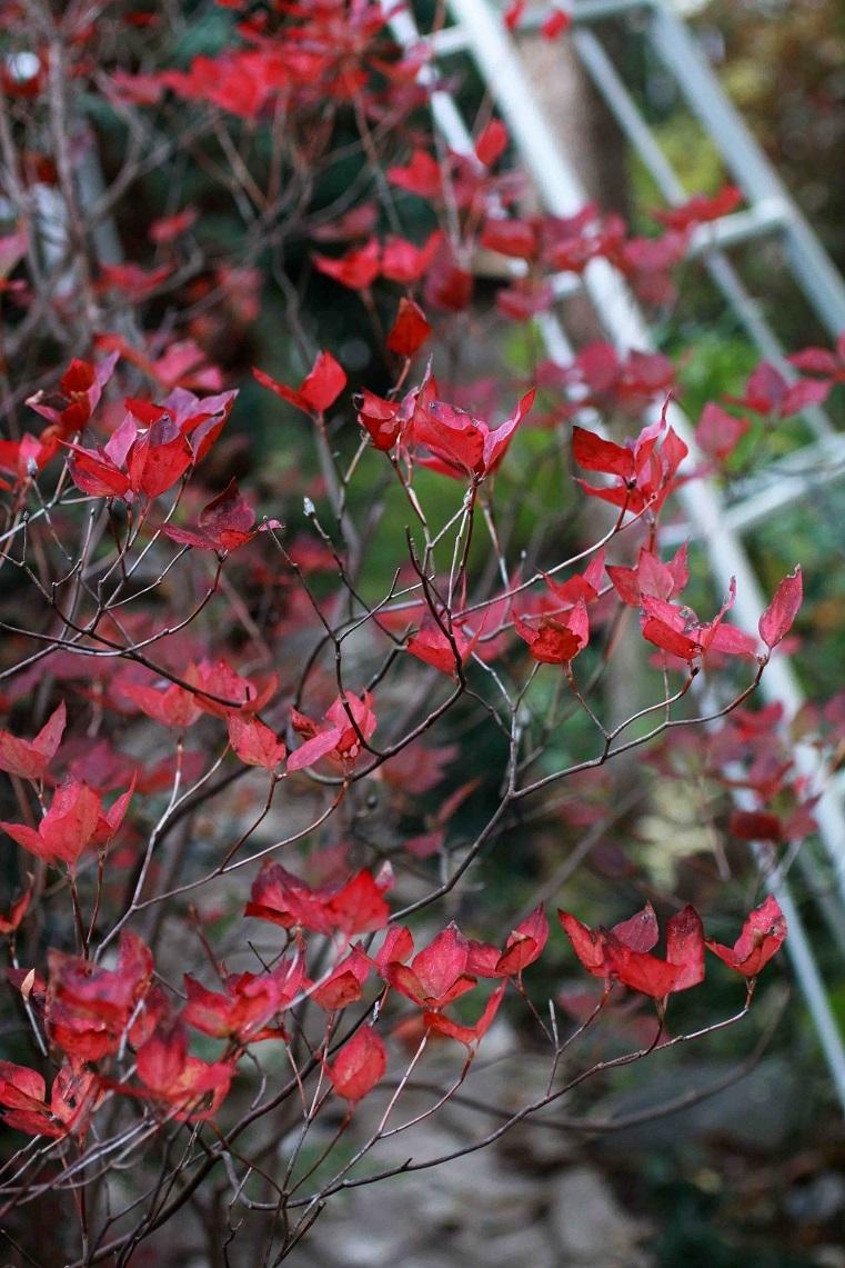 赤くなった喜び~ミツバツツジの紅葉、マンリョウの実~_a0107574_16274911.jpg