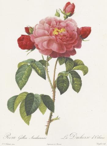 山梨家立美術館で開催中の「花の画家 ルドゥーテのバラ」展の見どころ(2)  スティップル・エングレーヴィング(点刻彫版法)_e0356356_16160568.jpg