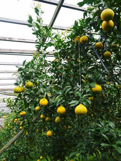 デコポン(肥後ポン) ハウスにビニールを張り冬支度!今年も順調に色づいています!_a0254656_18523582.jpg