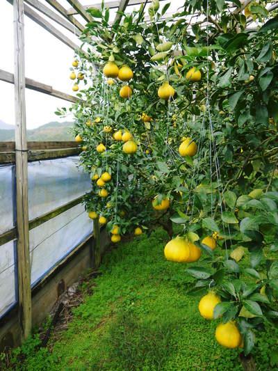 デコポン(肥後ポン) ハウスにビニールを張り冬支度!今年も順調に色づいています!_a0254656_19193426.jpg