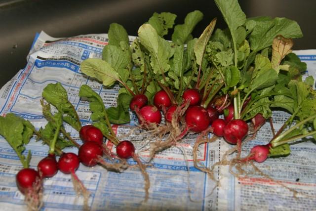 畑の 冬野菜で夕飯。_f0229190_1571728.jpg