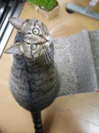 猫のお留守番 八朔くん柚子ちゃん小夏くん編。_a0143140_20292154.jpg
