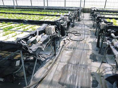 水耕栽培 採れたてサラダレタス(サラダリーフ)をいただいちゃいました!!_a0254656_1871629.jpg