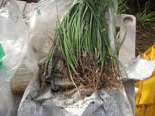 玉ねぎの植え付け..みかんの収穫!_b0137932_16364441.jpg