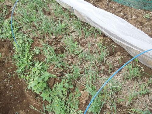 玉ねぎの植え付け..みかんの収穫!_b0137932_16371528.jpg
