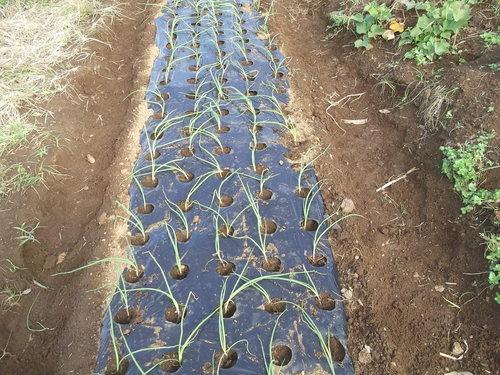 玉ねぎの植え付け..みかんの収穫!_b0137932_16381690.jpg