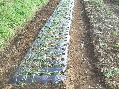 玉ねぎの植え付け..みかんの収穫!_b0137932_16404883.jpg