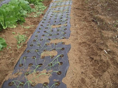 玉ねぎの植え付け..みかんの収穫!_b0137932_16411931.jpg