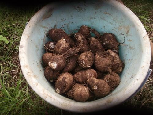 玉ねぎの植え付け..みかんの収穫!_b0137932_16432722.jpg