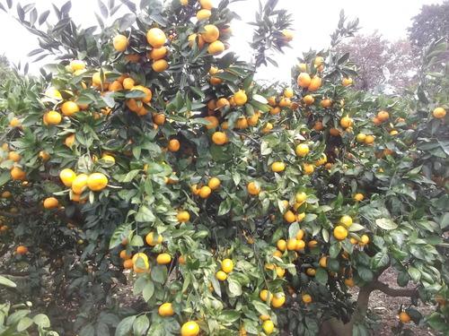 玉ねぎの植え付け..みかんの収穫!_b0137932_16444188.jpg