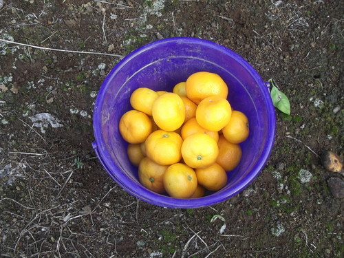 玉ねぎの植え付け..みかんの収穫!_b0137932_16445237.jpg