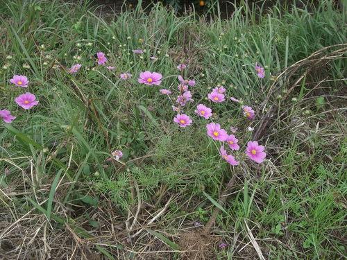 畑に咲く花_b0137932_1723054.jpg