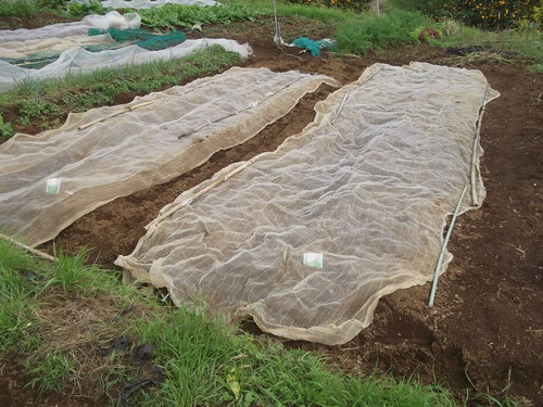 エンドウ豆の種まき!_b0137932_17265455.jpg