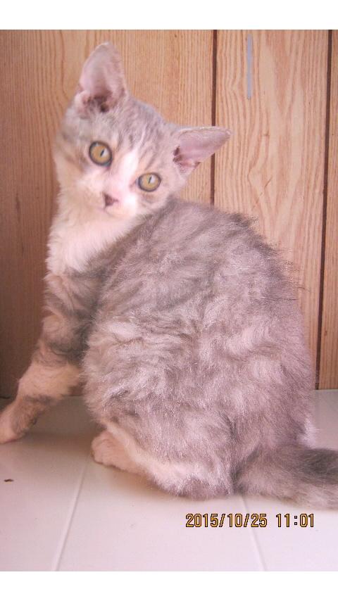 子猫 セルカークレックス男の子 家族募集_f0168339_23411747.jpg