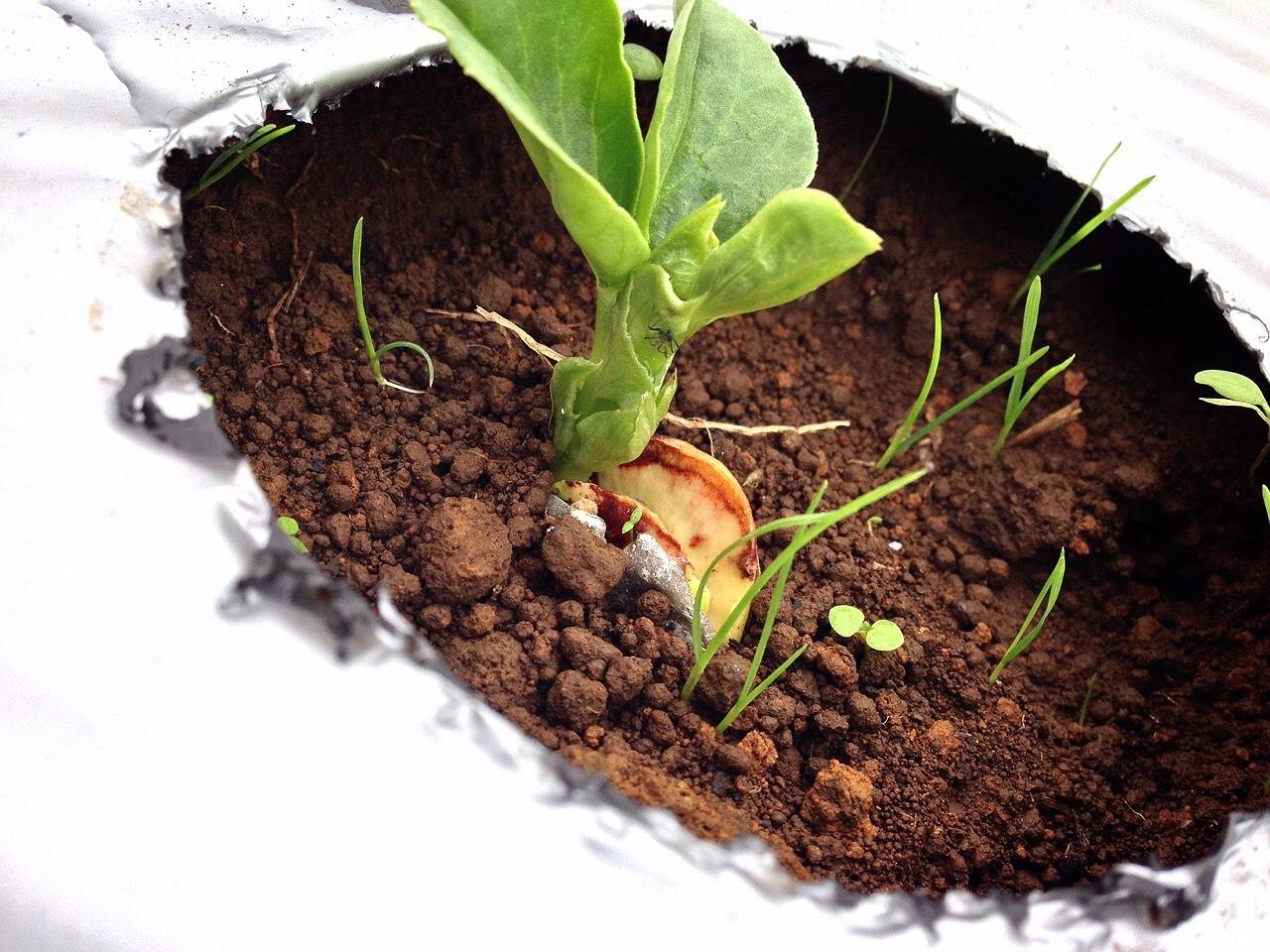 人参やアスパラ菜を収穫していきます あとは 細かい雑草取りです _c0222448_12374698.jpg