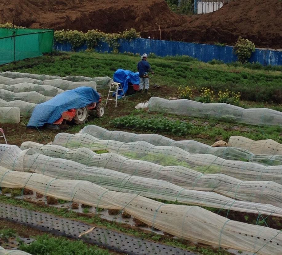 人参やアスパラ菜を収穫していきます あとは 細かい雑草取りです _c0222448_12380682.jpg